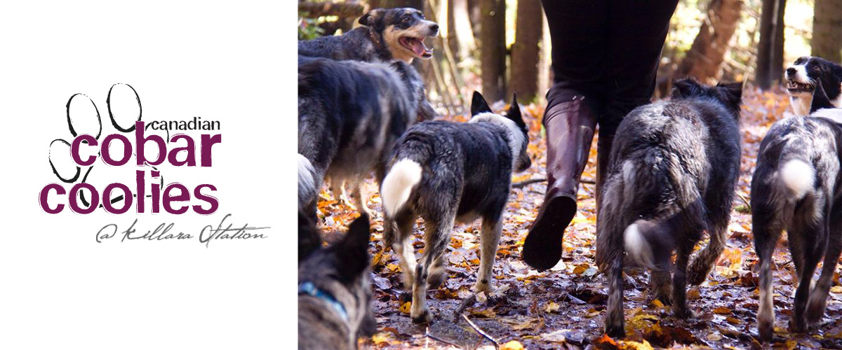 canadian cobar coolies dog breeding in haliburton